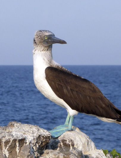Blue Footed Booby. ©2013 Susan Scott