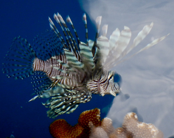 A lion fish, not found in Hawaii, hunted near the deck of the Honu when it was in Tahiti. ©2013 Susan Scott