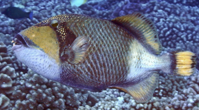 The titan triggerfish defends itself with sharp teeth. ©2013 Susan Scott