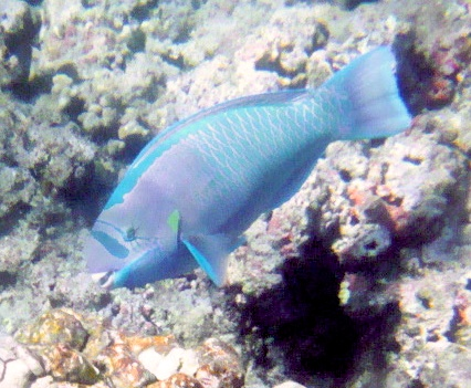 Parrotfish. Courtesy Scott R. Davis