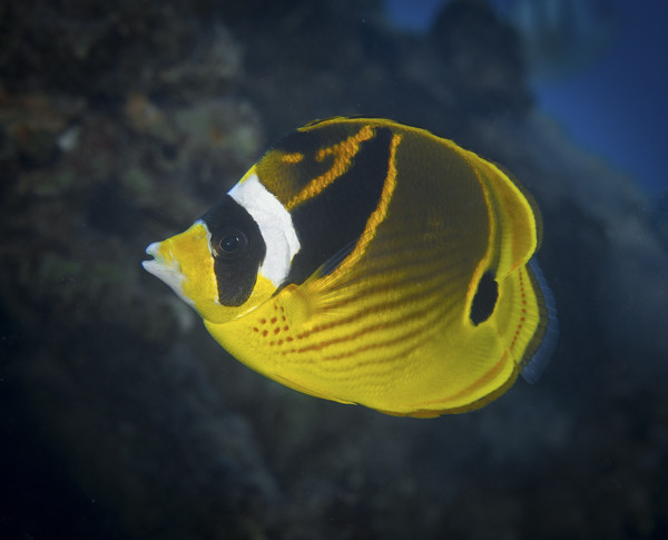 Raccoon Butterfly Fish - Courtesy Russell Gilbert