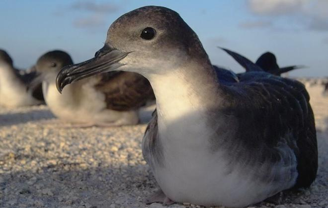 An adult wedge-tailed shearwater. Courtesy Alex Wegmann