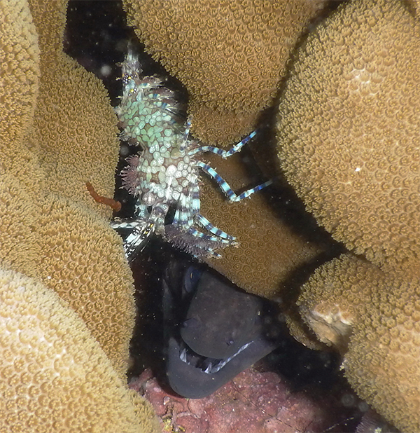 A moray eel is shown here, nestled below a female marbled shrimp. The eel failed to bite the unknowing snorkeler who snapped the picture, even though it easily could have. ©2015 Susan Scott