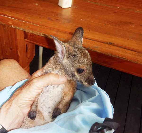 A baby kangaroo, or joey, fits comfortably in writer Susan Scott's hand. ©2015 Susan Scott