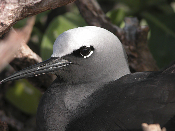 Black noddy. ©2015 Susan Scott