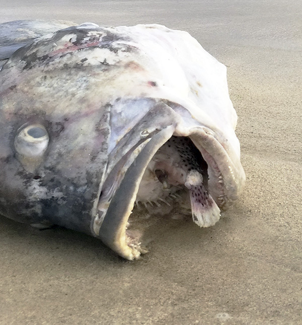 A dead ulua, or jack, washed up on Kailua Beach recently after having tried to ingest a porcupine puffer fish, which inflated and stuck in its throat. ©Greg Turnbull