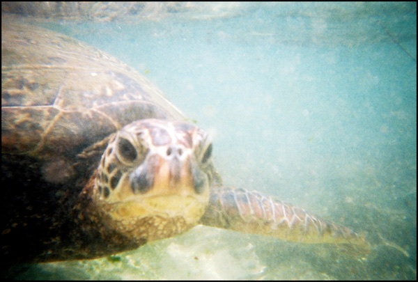 Turtles encounters in Hawaii include them coming very close to examine what you're up to. © Scott R. Davis