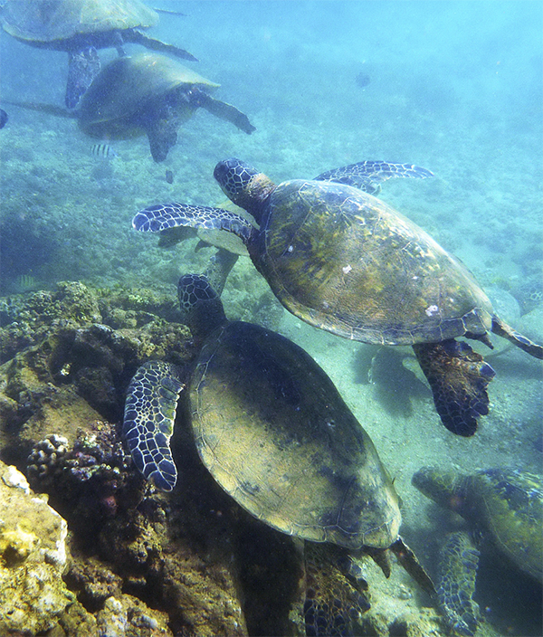 One photo, seven turtles. Oahu's North Shore. ©2015 Susan Scott