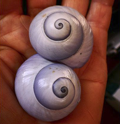 Violet snails shells are left behind by animals that survive by eating Portuguese men-of-war.©2015 Susan Scott