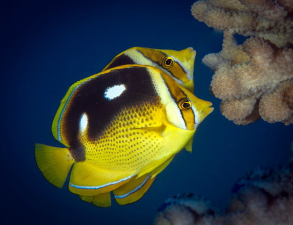 Butterflyfish ocean watch for Plenty of fish hawaii