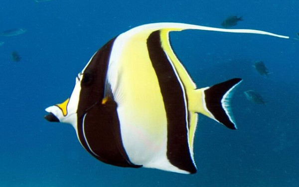 The Moorish idol is an omnivore that has a relatively large brain. Courtesy Russell Gilbert