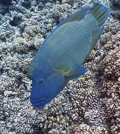 The humphead wrasse is a friend of coral and eats crown-of-thorn starfish. ©2016 Susan Scott