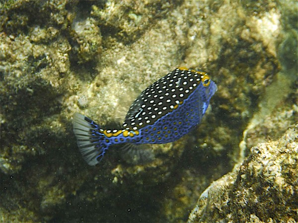 Bonus blue fish: Male Hawaiian Spotted Boxfish, Ostracion meleagris camurum. Susan's web guy's favorite blue fish. ©2014 Scott R. Davis