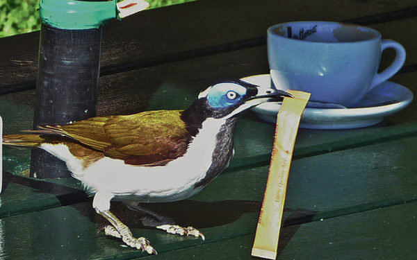 A blue-faced honeyeater is a tropical bird about the size of our mynahs but with the striking colors typical of many Australian birds. This honeyeater finished the latte behind it and then stole a packet of sugar. ©2016 Susan Scott
