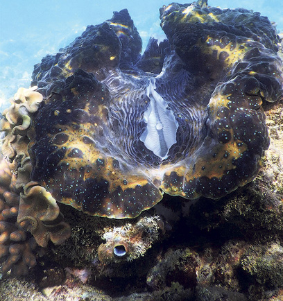 A giant clam about 4 feet long was just one of the oversize specimens spotted in Australia's Great Barrier Reef Marine Park. ©2016 Susan Scott