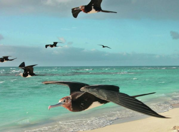 A flock of great frigate birds rides tradewinds. ©2016 Susan Scott