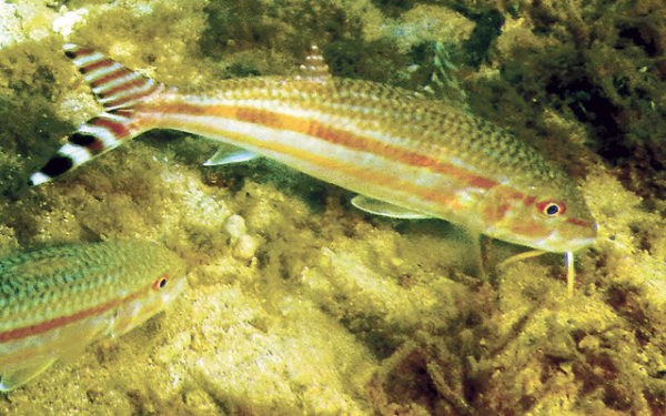 Bandtail goatfish, or weke pueo (sometimes called weke pahulu), are among the fish that can cause hallucinatory fish poisoning. ©2016 Susan Scott