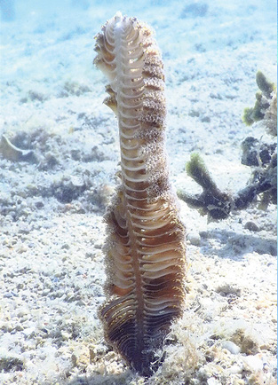 A sea pen is found in Australia's Great Barrier Reef Marine Park. ©2016 Susan Scott