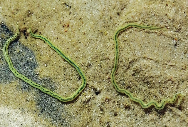 web1_Ocean-Watch-green-paddle-worms