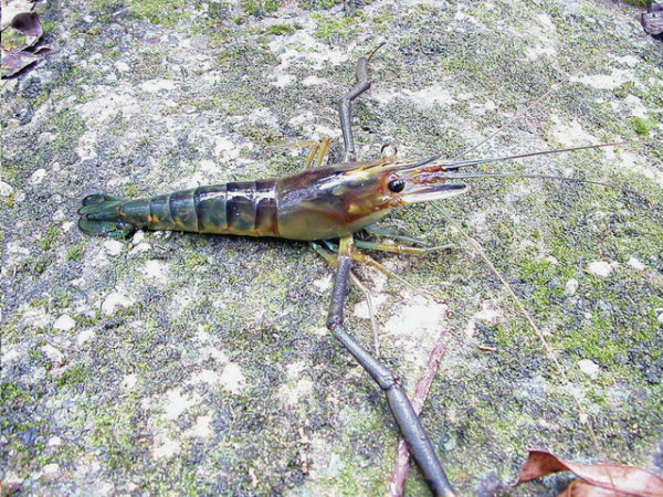Tahitian prawns, also known as giant freshwater shrimp, can be found in streams and waters off all Hawaiian Islands since their introduction to the state in 1956. Courtesy Wikipedia